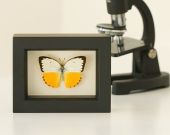 Yellow Migrant Sea Monster Framed Butterfly Display