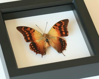 Butterfly Display Charaxes candiope Framed Insect Art