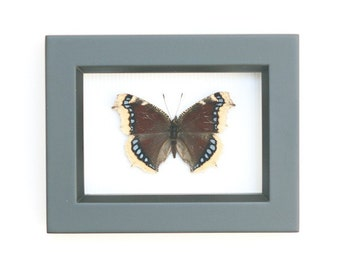 Mourning Cloak Framed Butterfly Display