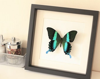 Peacock Swallowtail Framed Butterfly Museum Display with archival mat 1090
