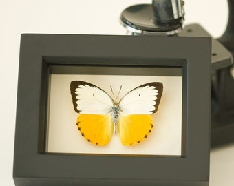 Sea Monster Framed Real Butterfly Display