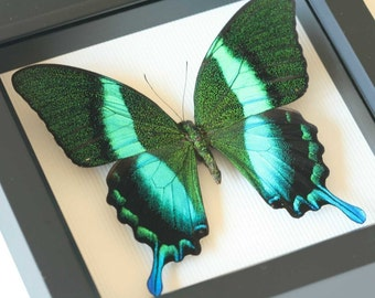 Peacock Swallowtail Framed Butterfly Art Display