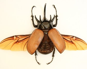 Rhinoceros Beetle Framed Museum Display - Eupatorus gracilicornis