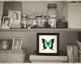 Sea Green Swallowtail Framed Butterfly Display
