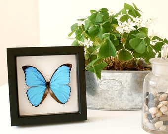 Something Blue Morpho Butterfly Wedding Gift