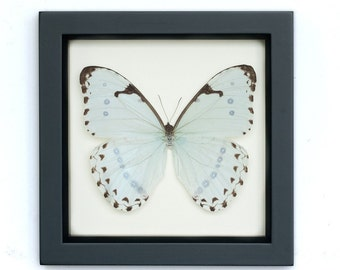 Pale Blue Mint Morpho Butterfly Framed Display
