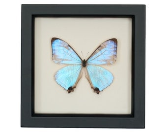 real blue morpho pearl sulkowski framed butterfly display