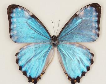 Framed Blue Portis Morpho Butterfly Display