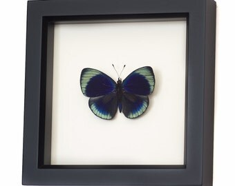 Framed Butterfly Display Charles Darwin Butterfly