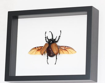 Framed Rhino Beetle EUPATORUS GRACILICORNIS Museum Display