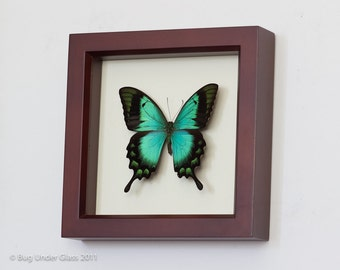 Sea Green Swallowtail Real Butterfly Display