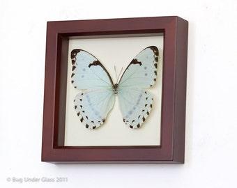 Framed Mint Morpho Butterfly Walnut Frame