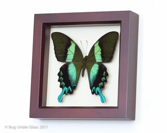 Butterfly Shadowbox Peacock Swallowtail Walnut Frame