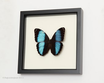 Banded Blue Morpho Framed Butterfly Display