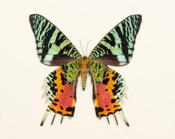 Real Framed Moth Madagascan 1330