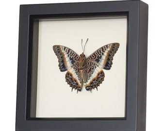 Real Framed Butterfly African Charaxes Brutus