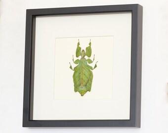 Framed Walking Leaf Real Insect Display