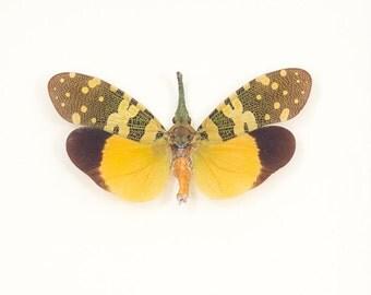 Real Framed Insect Lanternfly Fulgora viridirostris