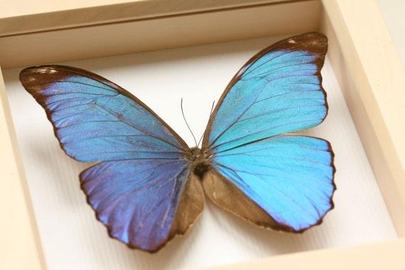 Blue Morpho Framed Butterfly Display (white washed frame)