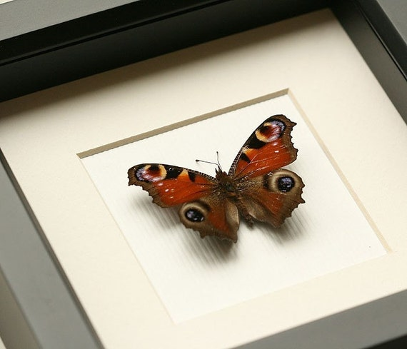 Framed Butterfly with archival mat - European Peacock