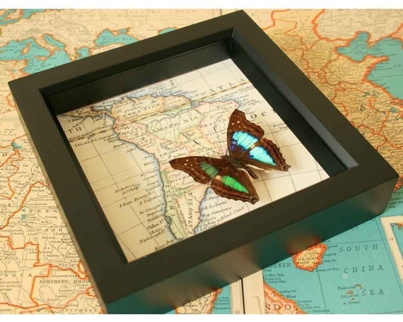 South American Framed Butterfly Map Display