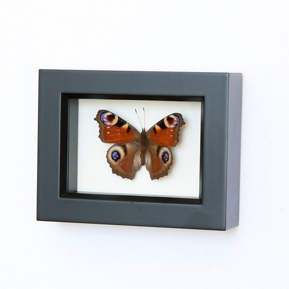 Europe Peacock Inachis Io Framed Butterfly Display
