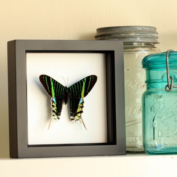 Urania Swallowtail Real Moth Framed Insect Display 1333