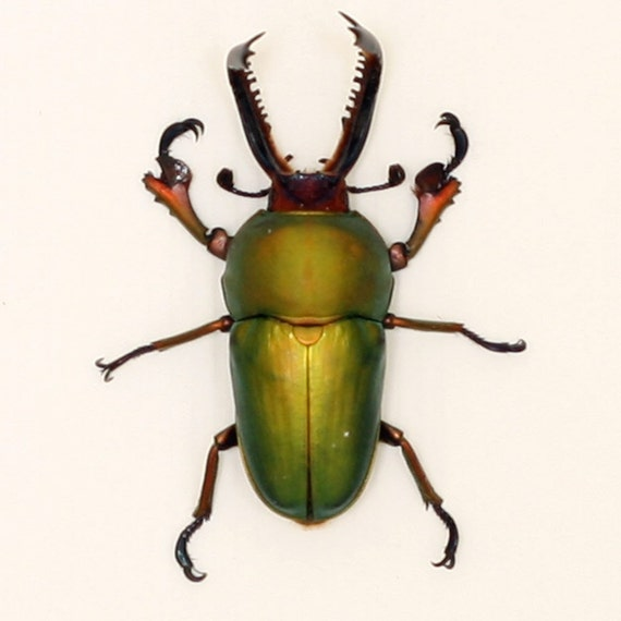 Real Beetle display - Green Stag Insect Display
