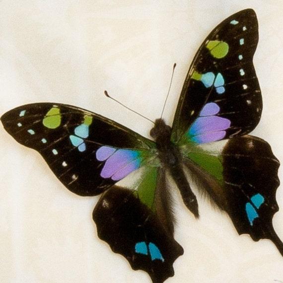 Purple Mountain Swallowtail Butterfly Shadowbox