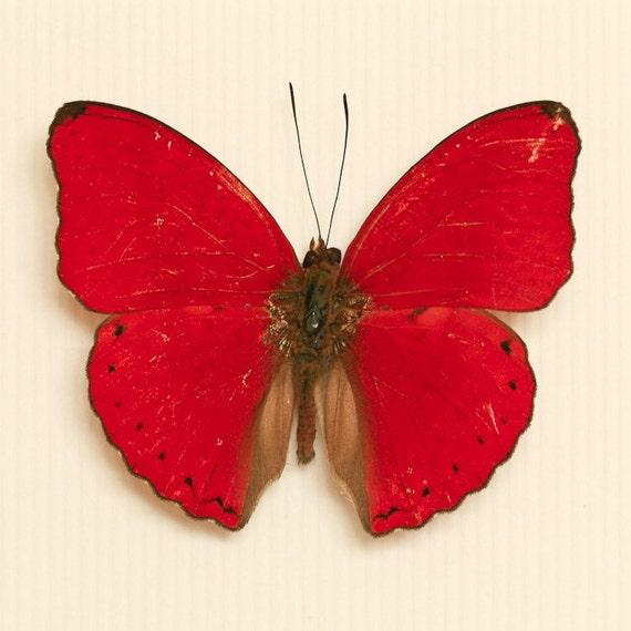 Butterfly Shadowbox Heart Shaped Cymothoe sangaris