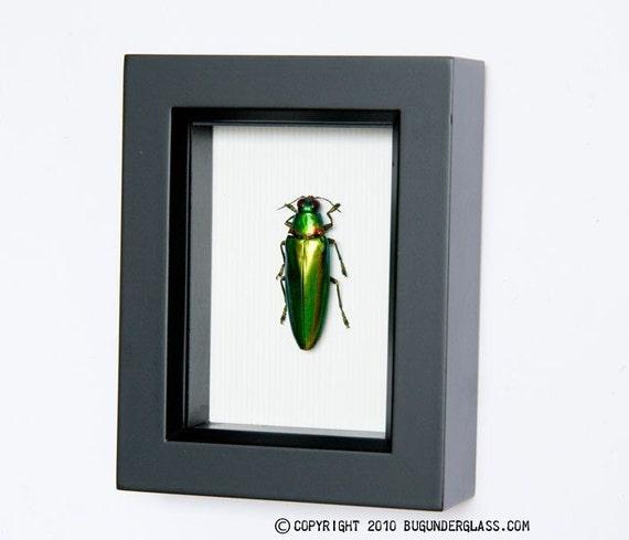 Real Beetle Display Banded Jewel Beetle family buprestidae
