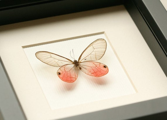 Real Butterfly Pink Glasswing Framed Museum Display