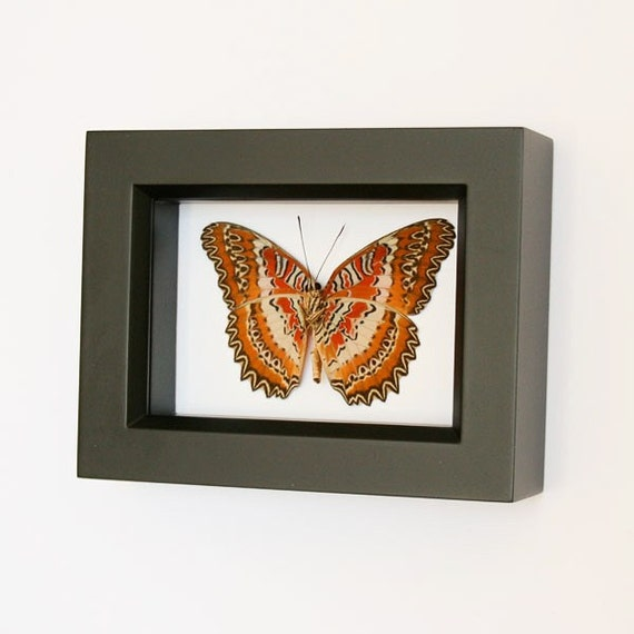 Leopard Lacewing Framed Butterfly Display