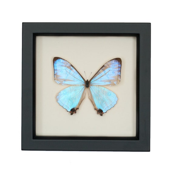 Real Blue Morpho Pearl SULKOWSKI framed butterfly display
