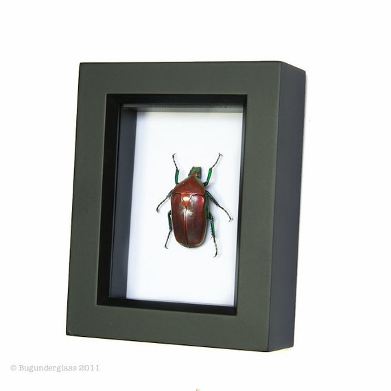 Framed Beetle Display Fruit Chafer Shadowbox Insect