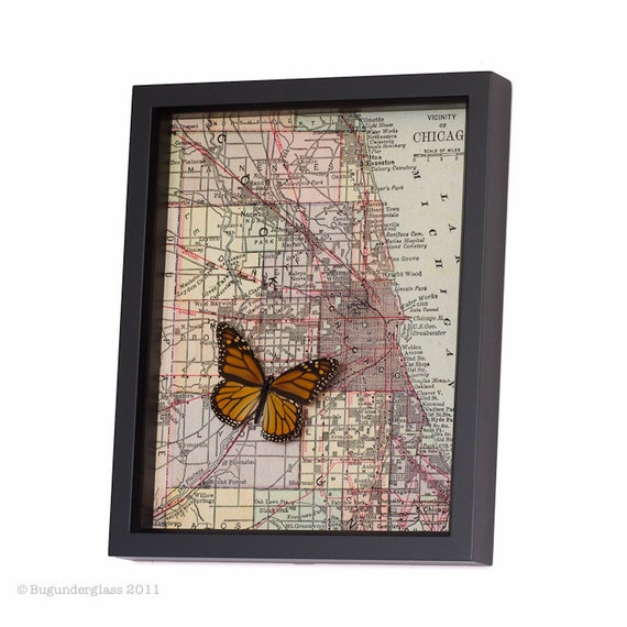 Framed Map of Chicago Map with Real Monarch Butterfly 1398