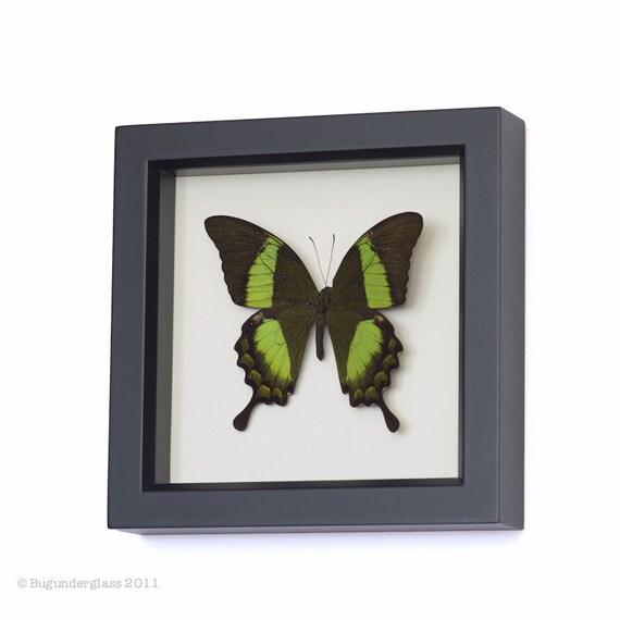 Real Framed Butterfly Art Emerald Swallowtail