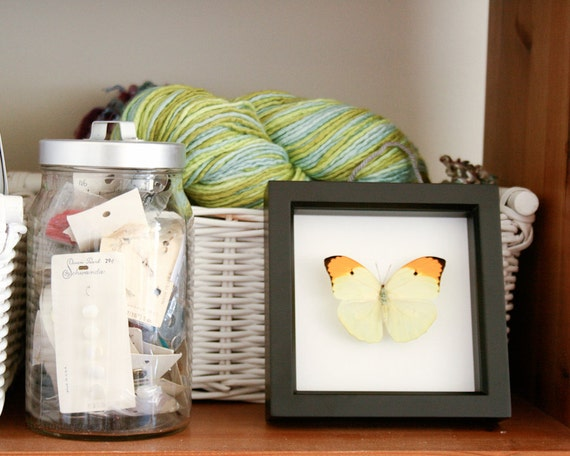 Yellow Brimstone Real Framed Butterfly Display