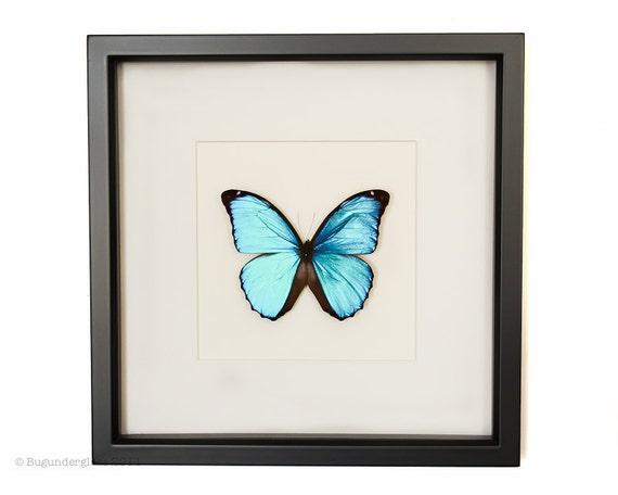 Framed Blue Morpho Butterfly 1033