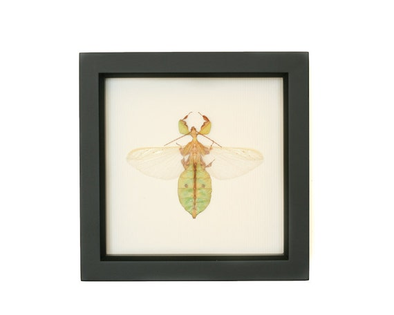 Walking Leaf Museum Quality Framed Insect Display