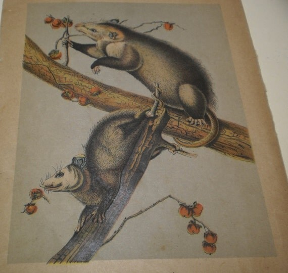 Vintage Virginia Possums Natural History Chromolithograph Print Wild American Animals 1890s Book Plate Vibrant Blue Gray Red Paper Ephemera