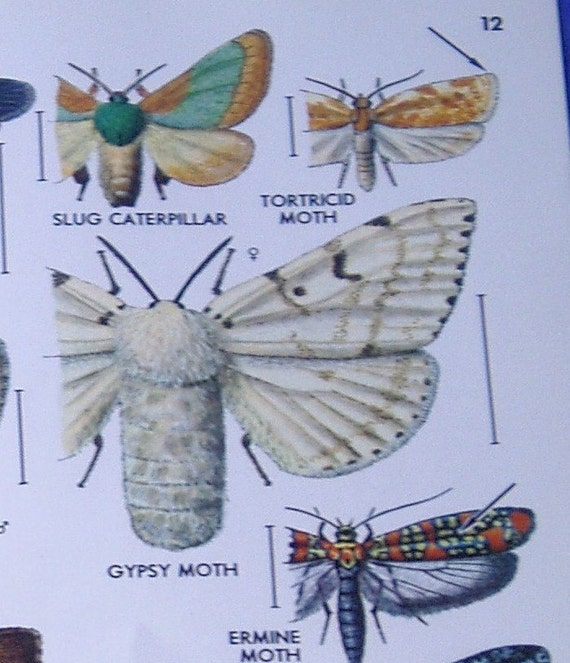 Gypsy Moth Illustrations Vintage Insect Scientific Book Plates for Mixed Media, Altered Art or Framing