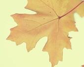 60% OFF, Golden Leaf, Nature Photography, golden yellow tree photo, autumn decor, living room decor, still life nusery decor, wall art - 5x