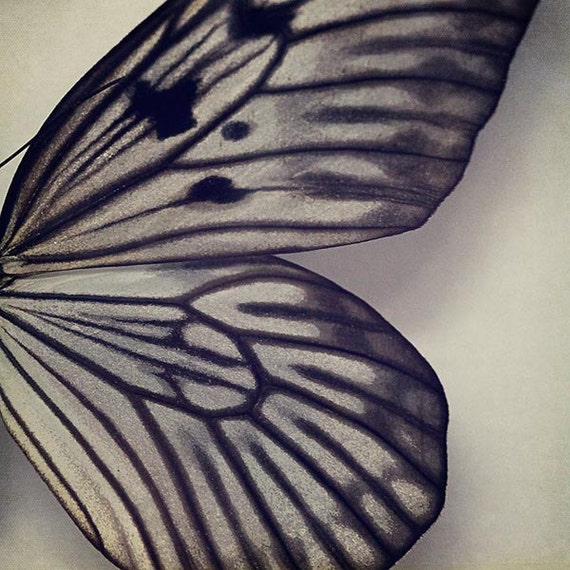 Butterfly Photograph - Nature natural grey silver white dark stripes lines simple spring shabby chic - Black and Gray Wing - 4x4