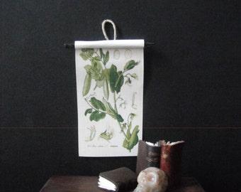 Miniature Natural History Chart --- Mendel's Peas