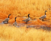Geese on Golden Grasses (8 1/2 in x 11 in)