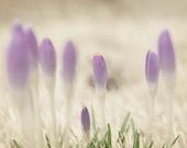 Spring Dreamy Creamy Crocus - 5 X 7 Photography Print
