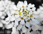 White Syringa (Lilac) 8x10 Print