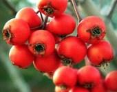 Macro Winter Berries 8x10 Print