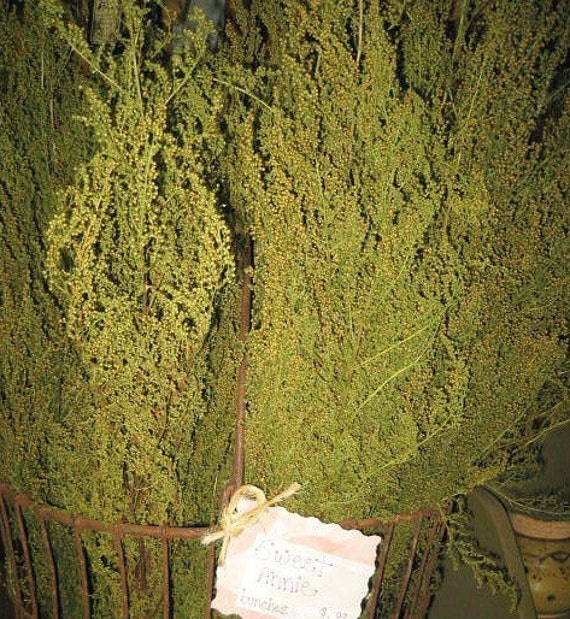 Natural SWEET ANNIE- primitive herb dried and sold per bunch